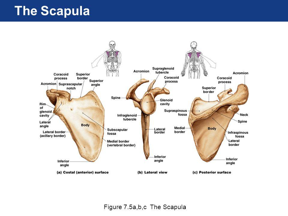 The Scapula Figure 7.5a,b,c The Scapula