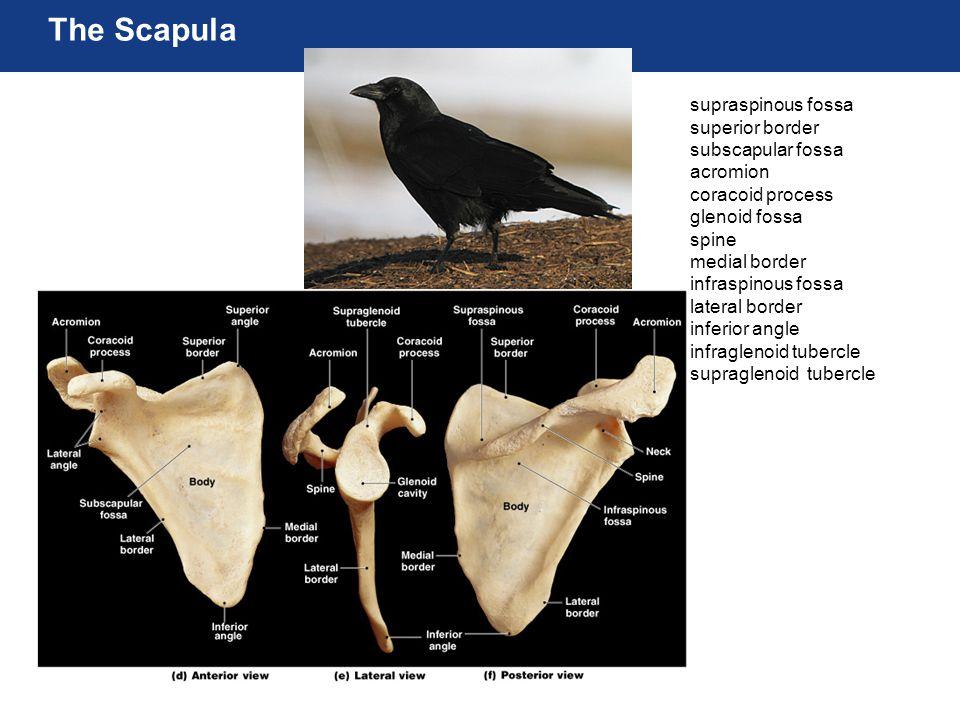 The Scapula supraspinous fossa superior border subscapular fossa