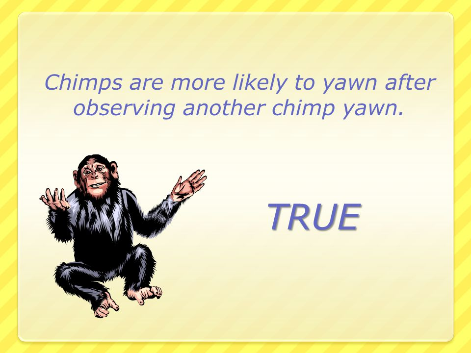 Chimps are more likely to yawn after observing another chimp yawn.