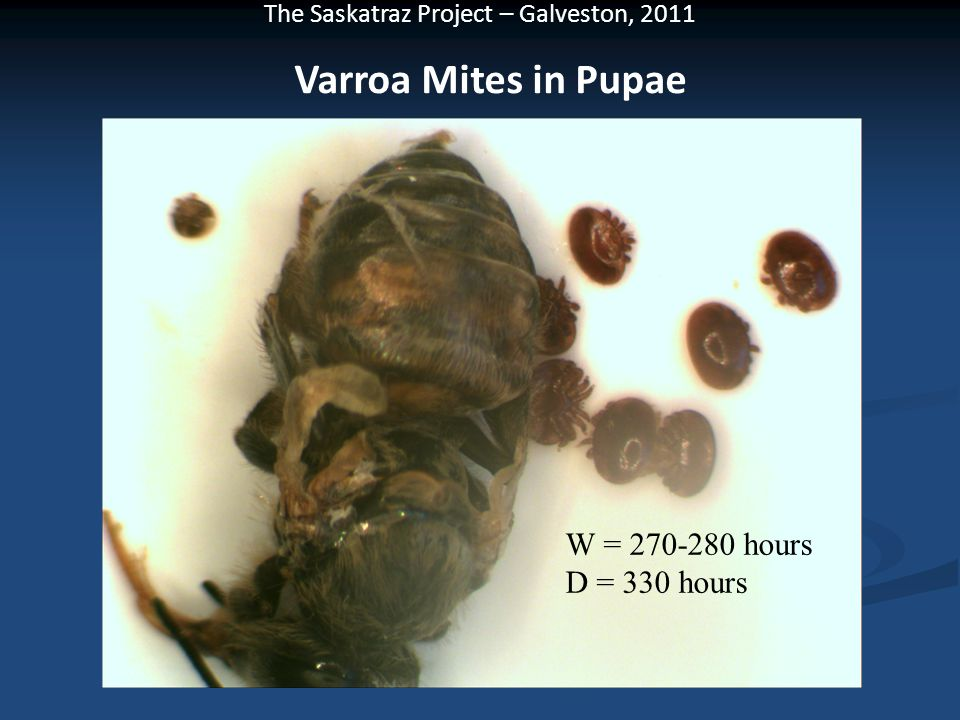 Varroa Mites in Pupae W = 270-280 hours D = 330 hours
