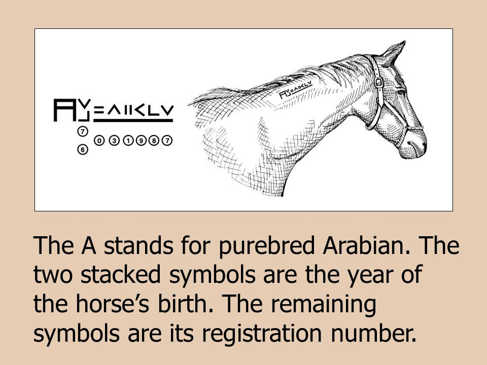 The A stands for purebred Arabian