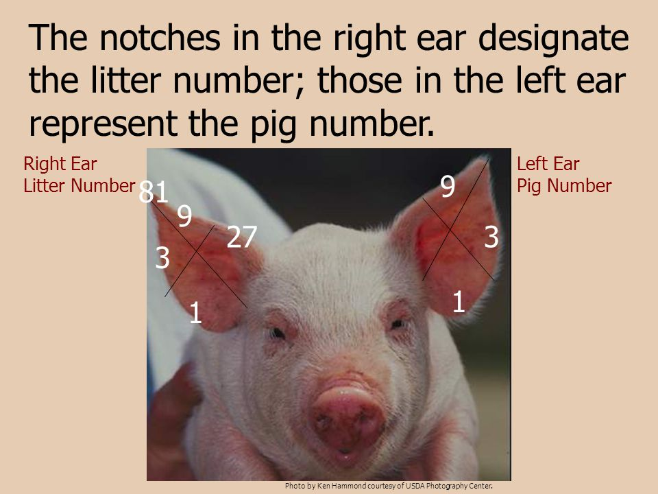 The notches in the right ear designate the litter number; those in the left ear represent the pig number.