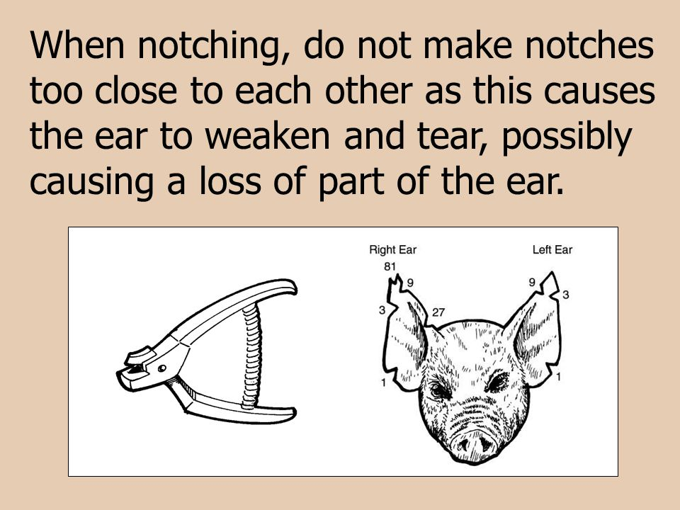 When notching, do not make notches too close to each other as this causes the ear to weaken and tear, possibly causing a loss of part of the ear.