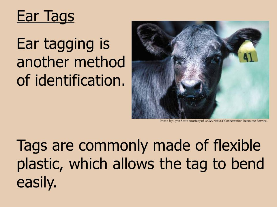 Ear tagging is another method of identification.
