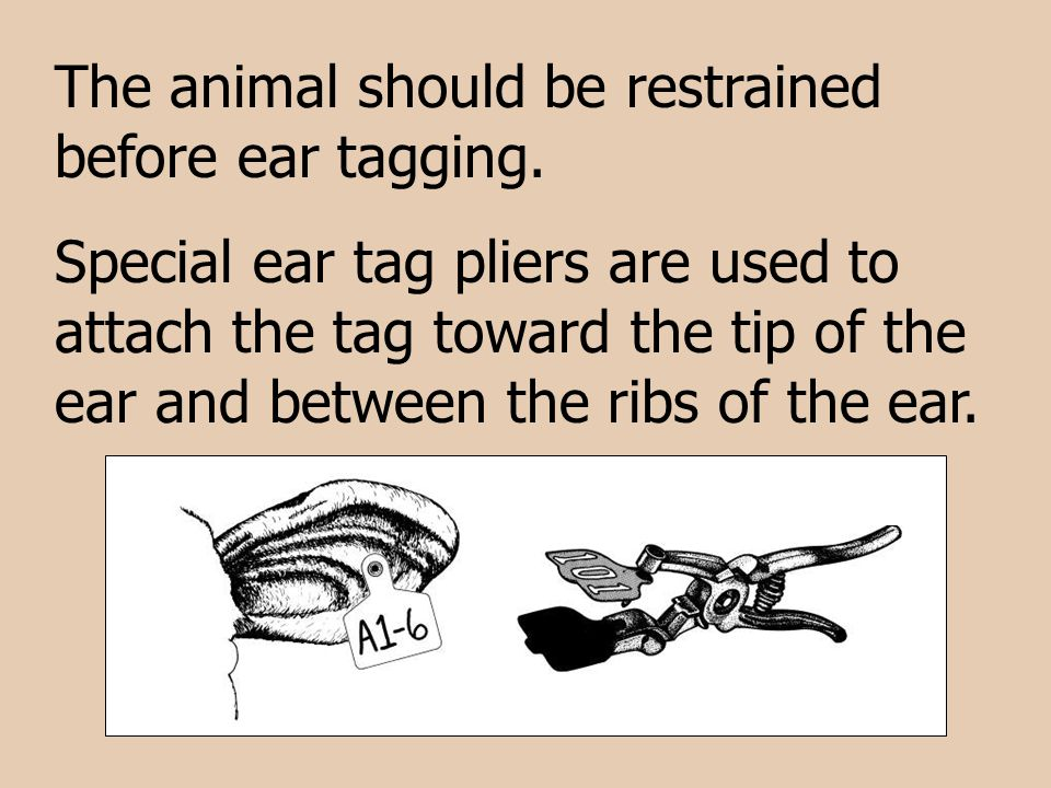 The animal should be restrained before ear tagging.