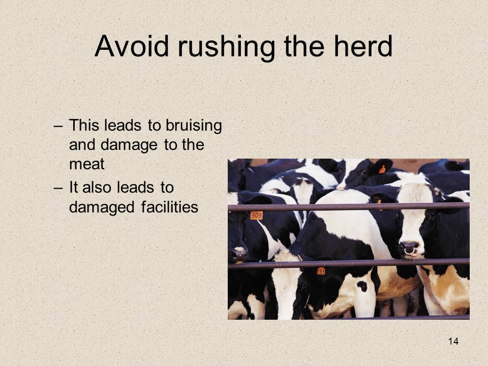 Avoid rushing the herd This leads to bruising and damage to the meat