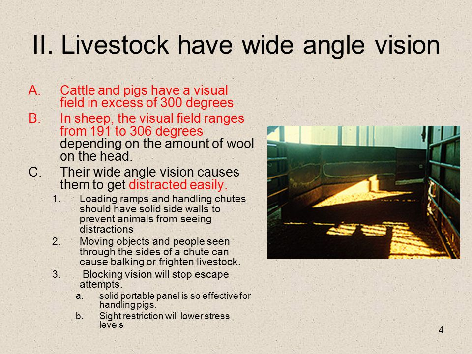 II. Livestock have wide angle vision