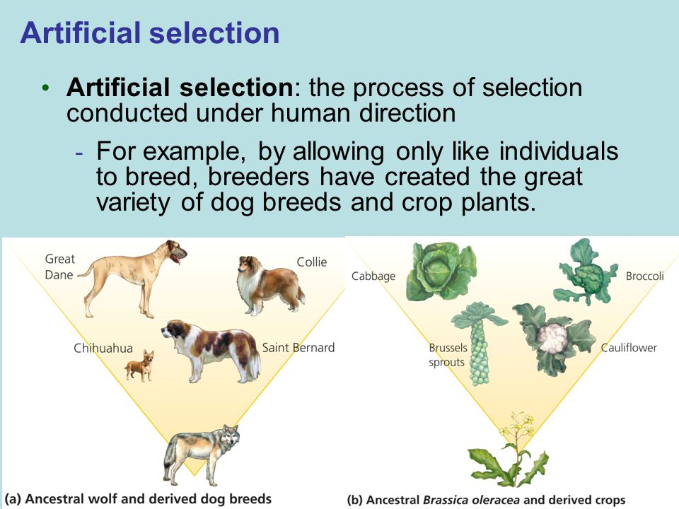 Artificial selection Artificial selection: the process of selection conducted under human direction.