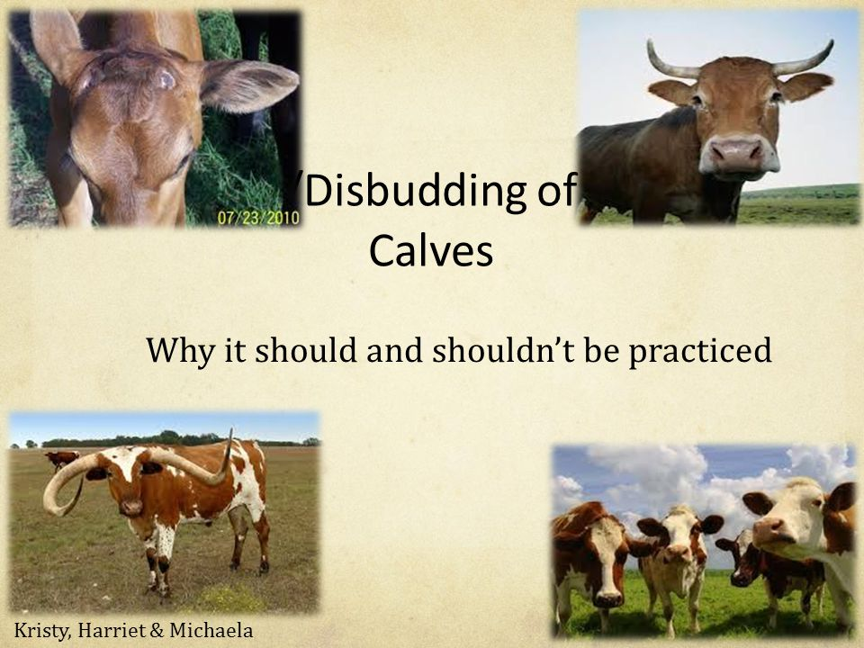 Dehorning/Disbudding of Cattle and Calves