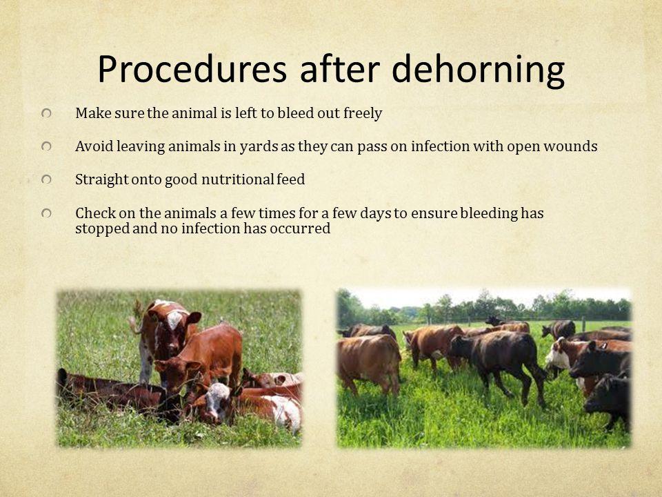 Procedures after dehorning