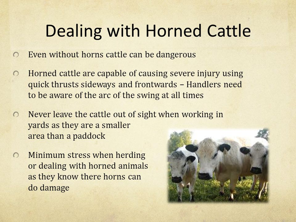 Dealing with Horned Cattle