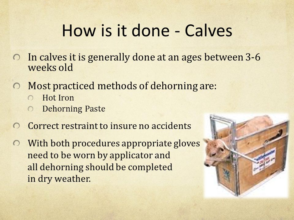 How is it done - Calves In calves it is generally done at an ages between 3-6 weeks old. Most practiced methods of dehorning are: