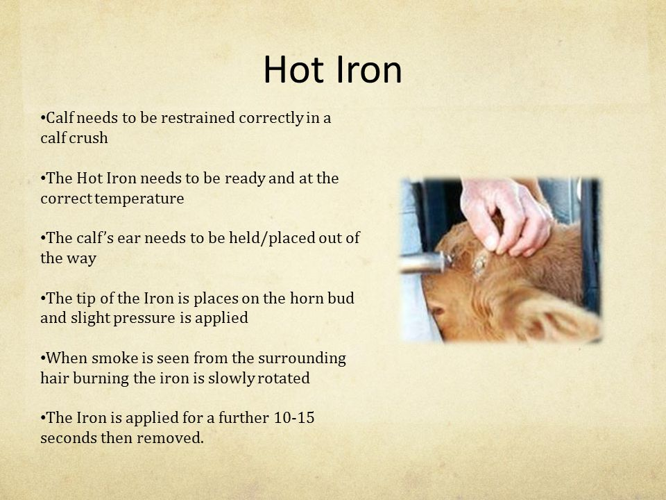 Hot Iron Calf needs to be restrained correctly in a calf crush