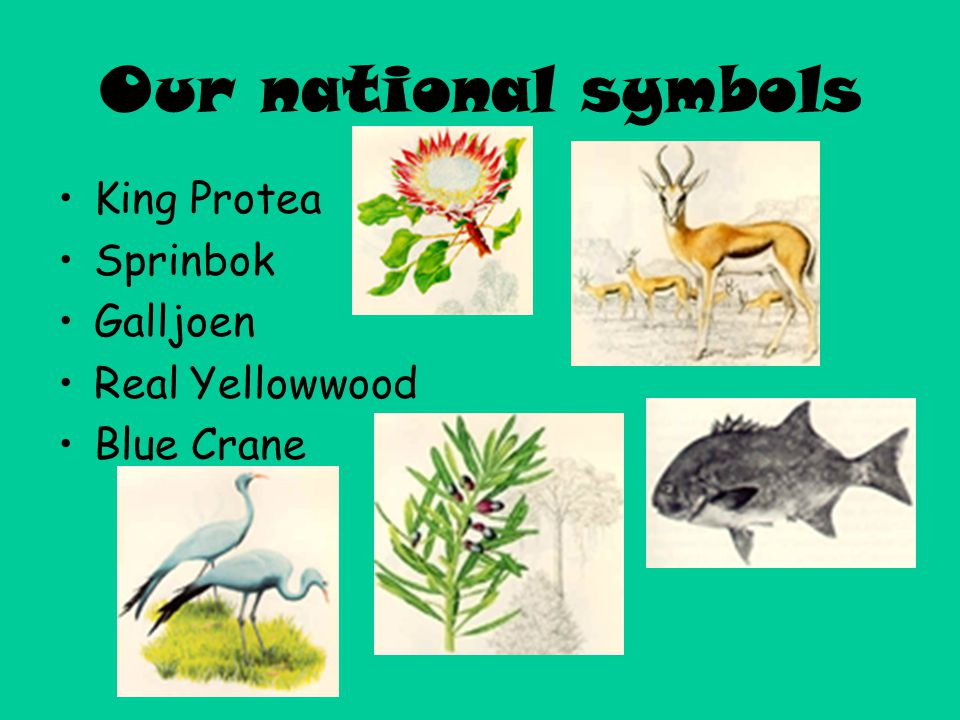 Our national symbols King Protea Sprinbok Galljoen Real Yellowwood