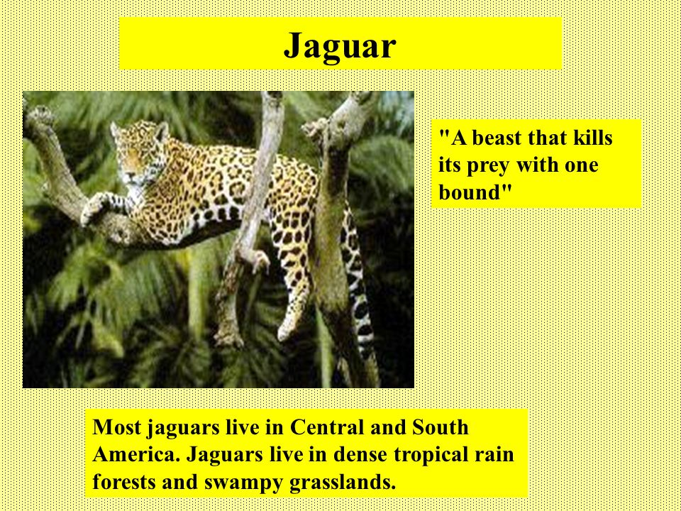 Jaguar A beast that kills its prey with one bound