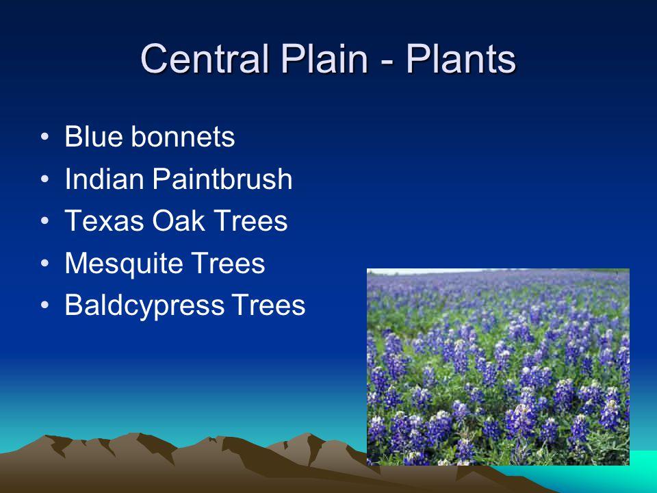 Central Plain - Plants Blue bonnets Indian Paintbrush Texas Oak Trees