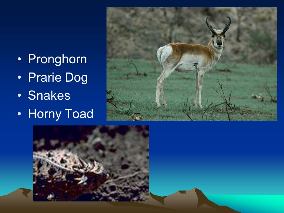 Animals Pronghorn Prarie Dog Snakes Horny Toad