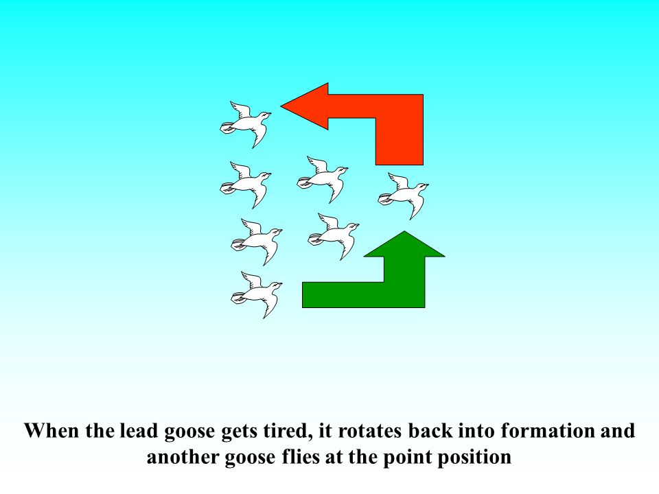 When the lead goose gets tired, it rotates back into formation and