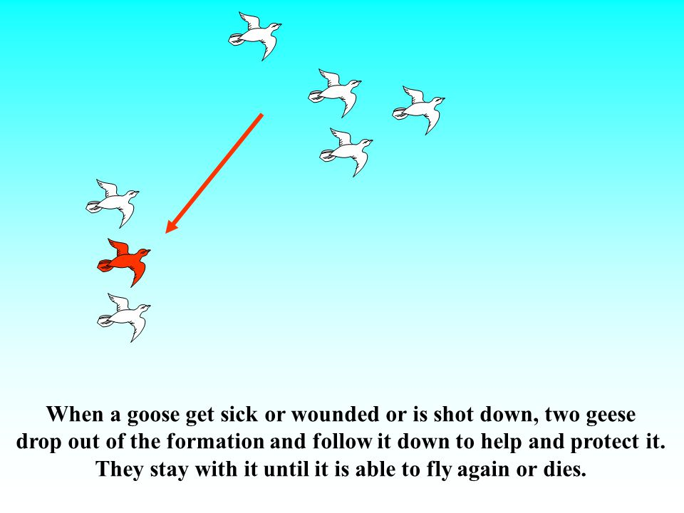 When a goose get sick or wounded or is shot down, two geese