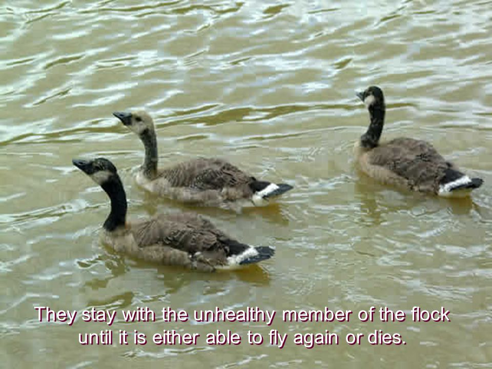 They stay with the unhealthy member of the flock until it is either able to fly again or dies.