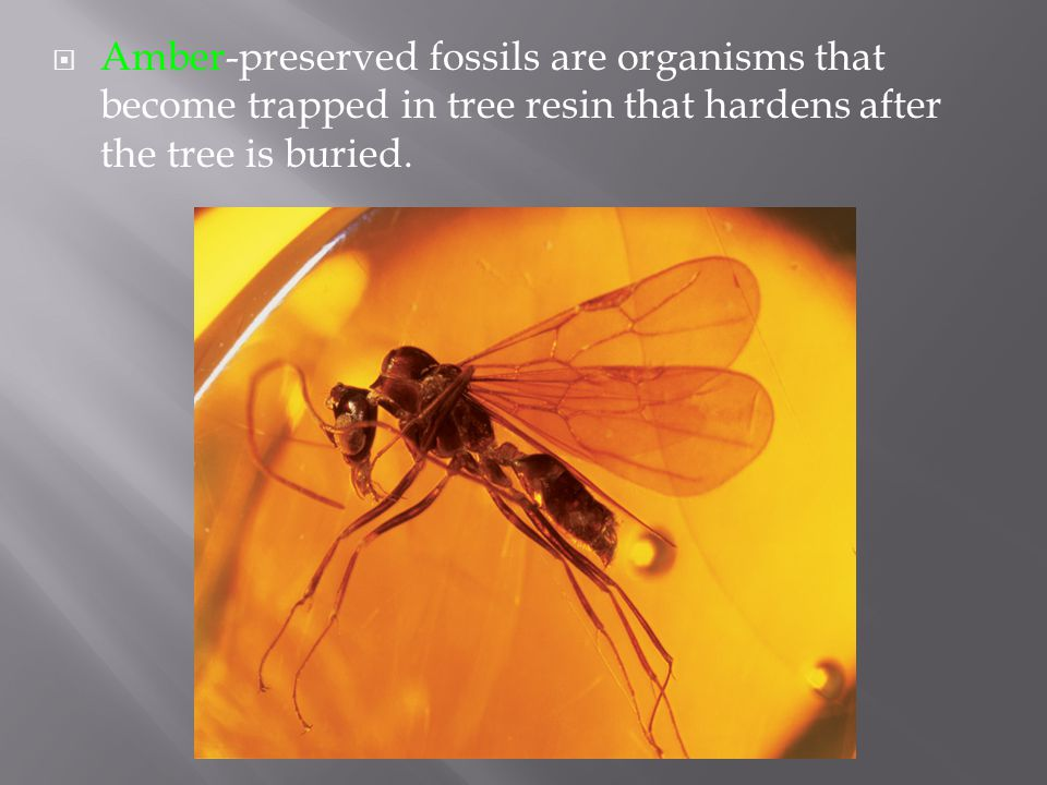 Amber-preserved fossils are organisms that become trapped in tree resin that hardens after the tree is buried.