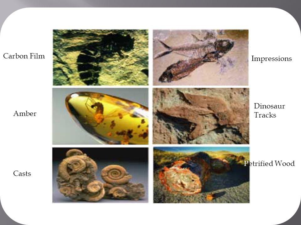 Carbon Film Impressions Dinosaur Tracks Amber Petrified Wood Casts