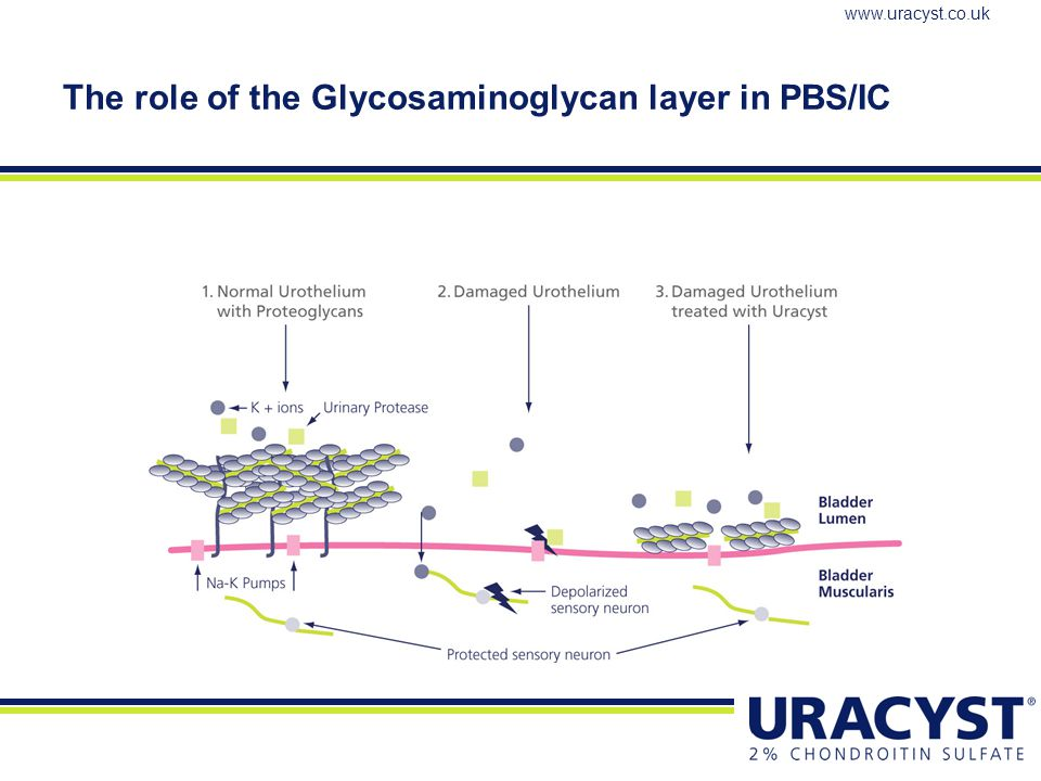 The role of the Glycosaminoglycan layer in PBS/IC
