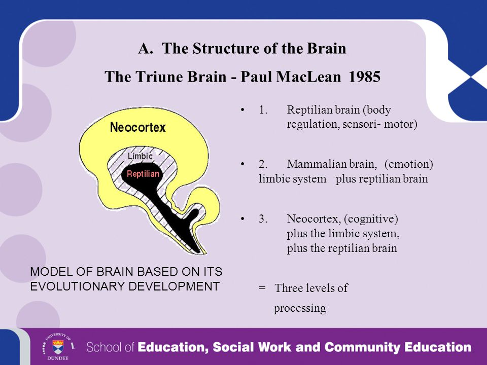 A. The Structure of the Brain The Triune Brain - Paul MacLean 1985