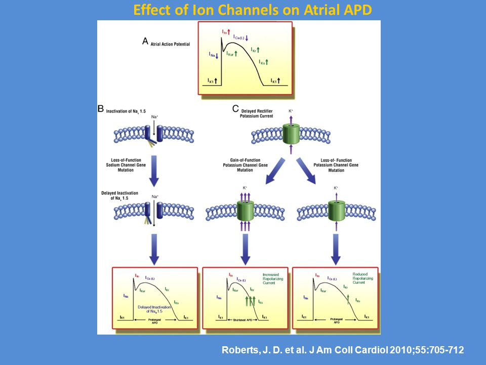 Effect of Ion Channels on Atrial APD
