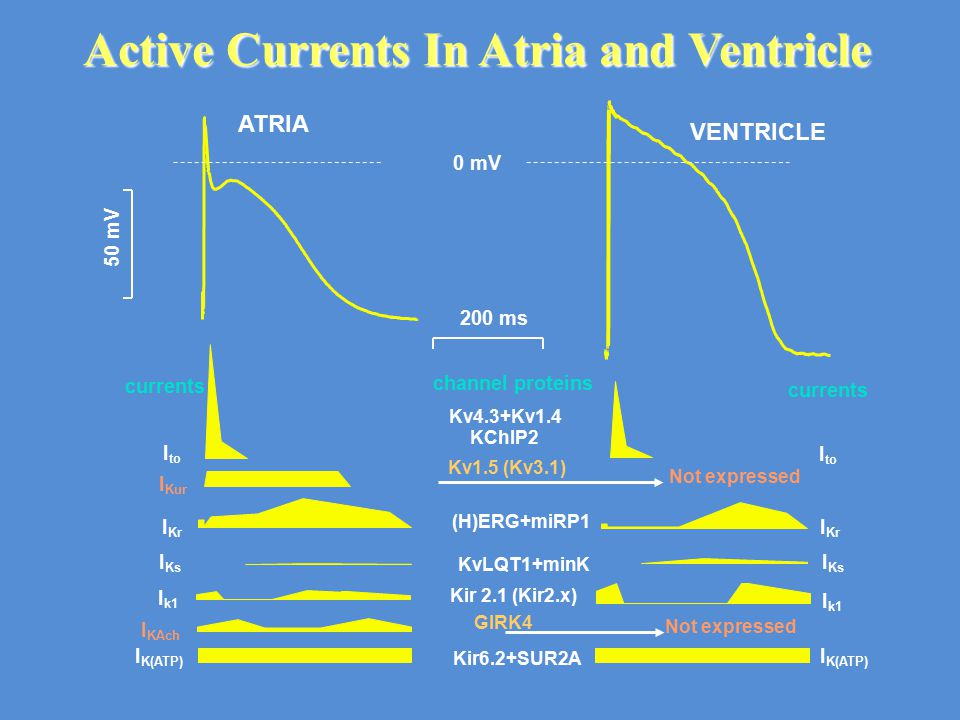 Active Currents In Atria and Ventricle