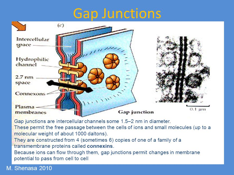 Gap Junctions M. Shenasa 2010
