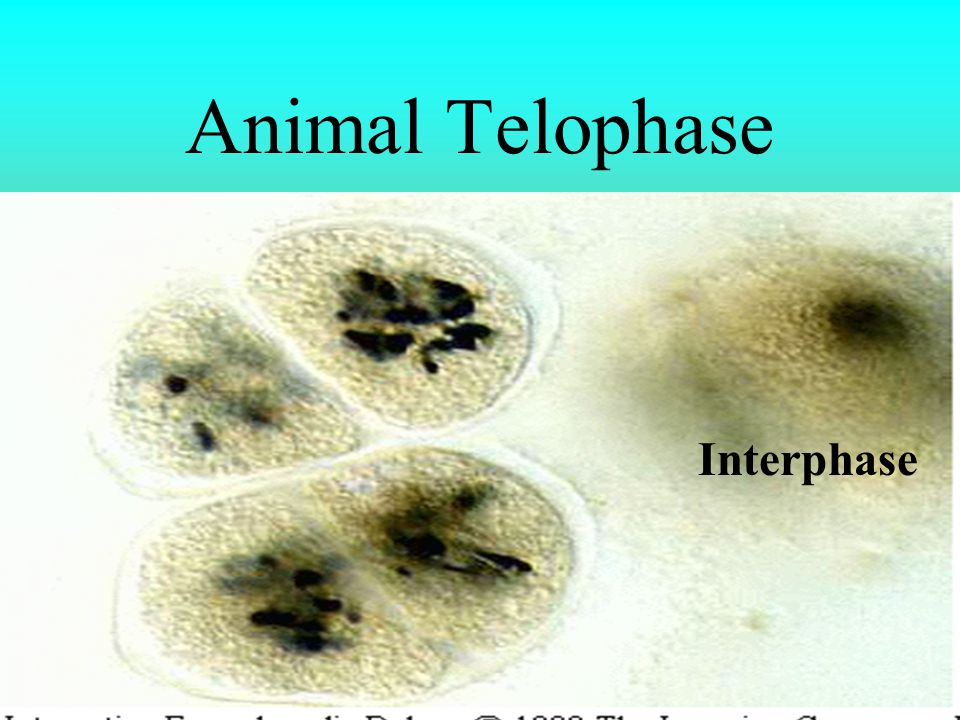 Animal Telophase Interphase