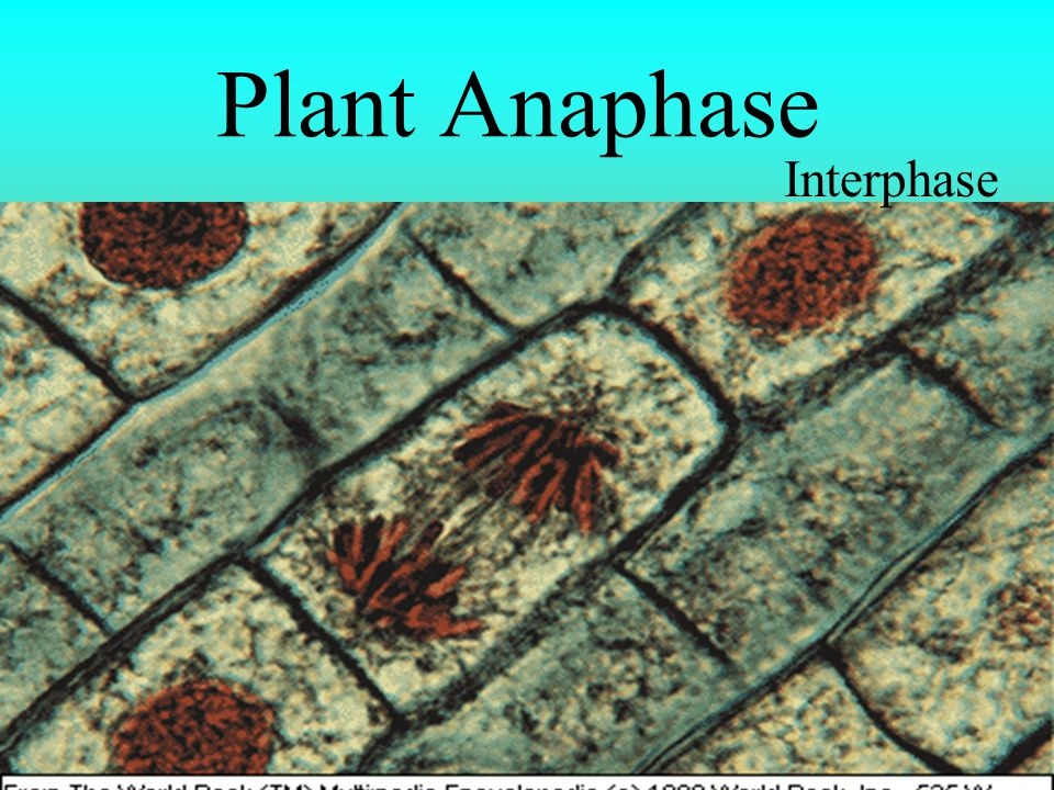 Plant Anaphase Interphase