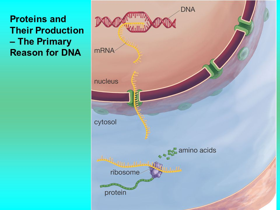 Proteins and Their Production – The Primary Reason for DNA