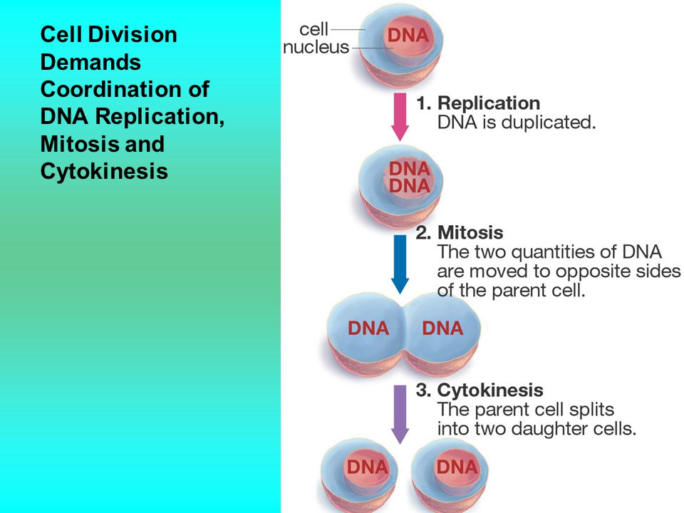 Cell Division Demands Coordination of DNA Replication, Mitosis and Cytokinesis