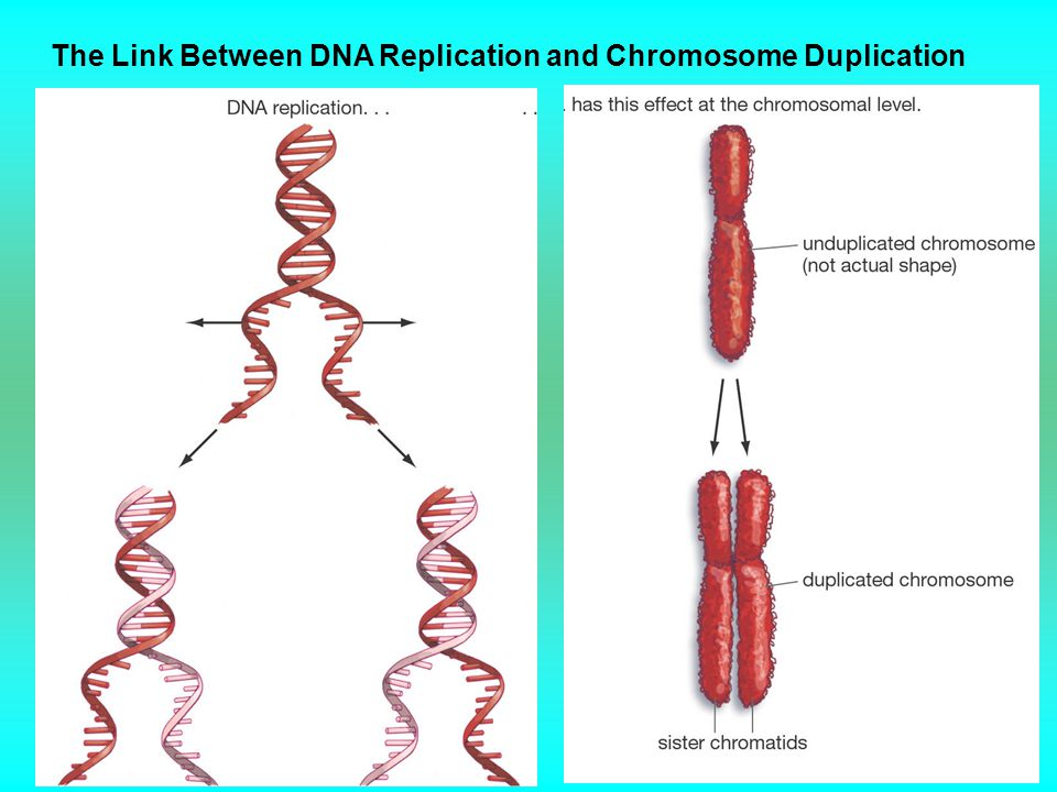 The Link Between DNA Replication and Chromosome Duplication