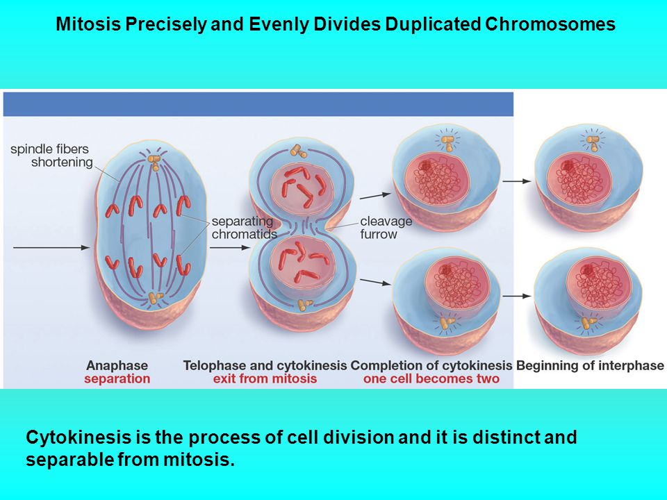 Mitosis Precisely and Evenly Divides Duplicated Chromosomes