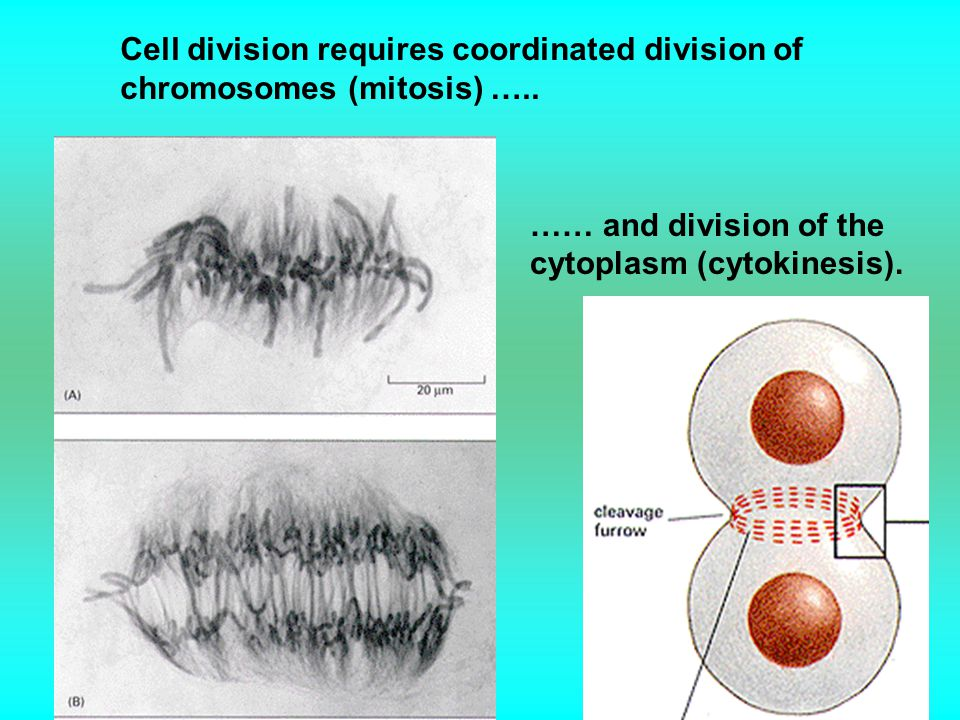 Cell division requires coordinated division of chromosomes (mitosis) …..