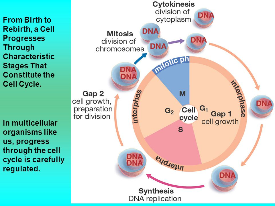 From Birth to Rebirth, a Cell Progresses Through Characteristic Stages That Constitute the Cell Cycle.