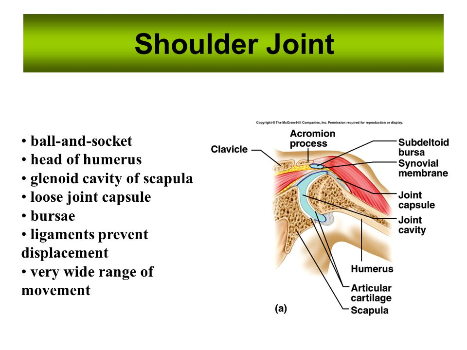 Shoulder Joint ball-and-socket head of humerus