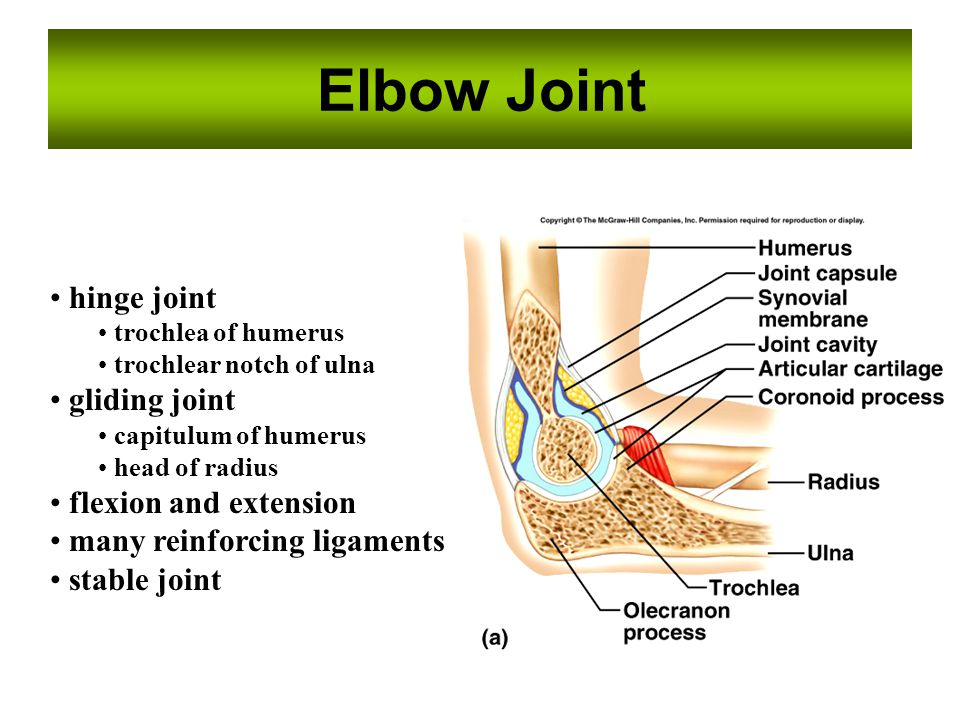 Elbow Joint hinge joint gliding joint flexion and extension