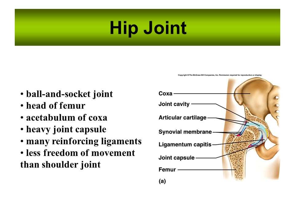 Hip Joint ball-and-socket joint head of femur acetabulum of coxa