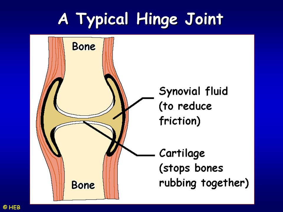 A Typical Hinge Joint © HEB
