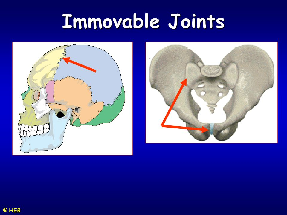 Immovable Joints © HEB