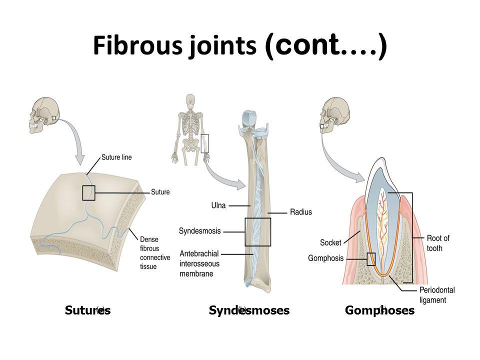 Fibrous joints (cont….)