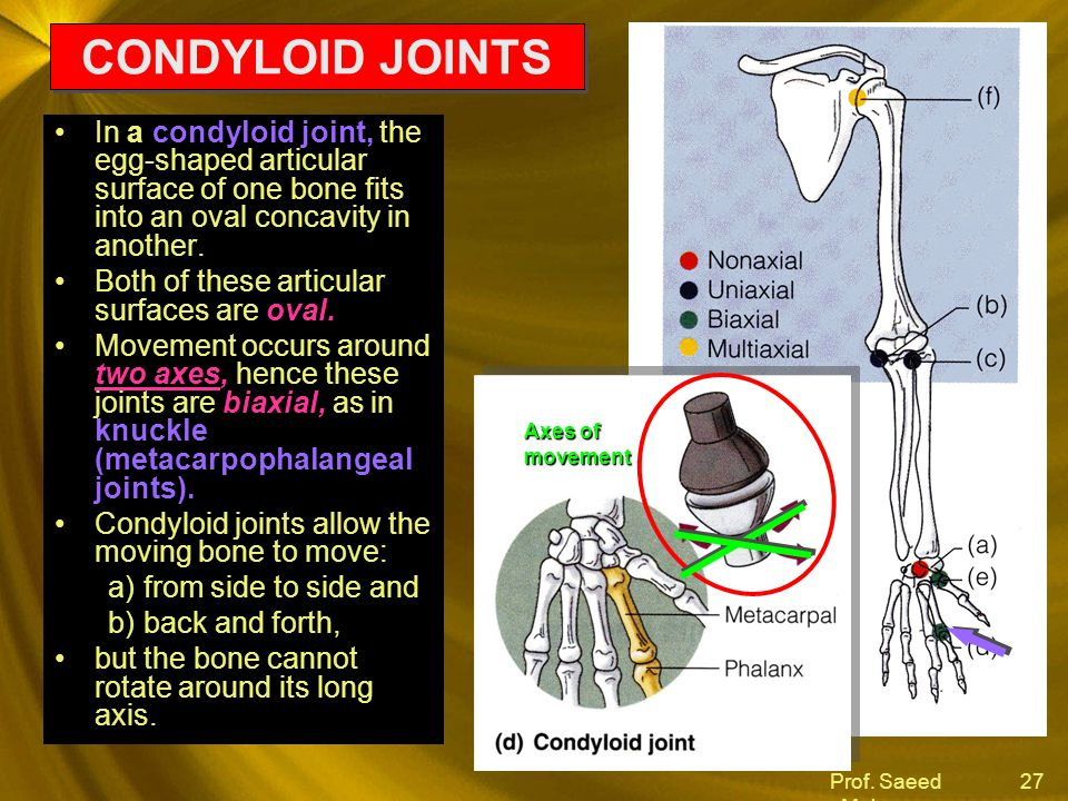CONDYLOID JOINTS In a condyloid joint, the egg-shaped articular surface of one bone fits into an oval concavity in another.