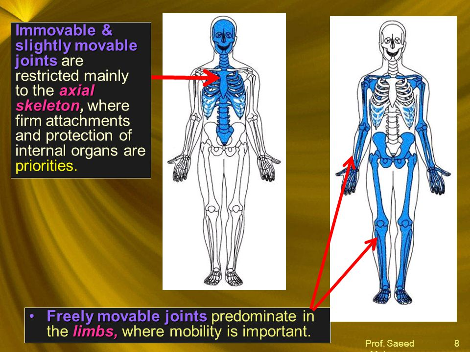 Immovable & slightly movable joints are restricted mainly to the axial skeleton, where firm attachments and protection of internal organs are priorities.
