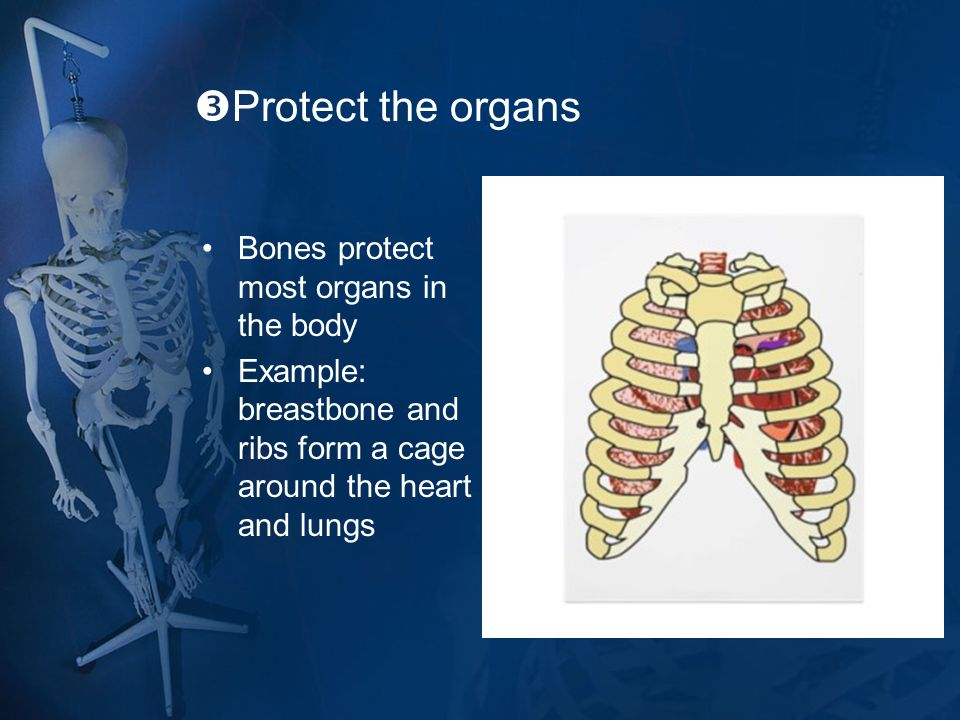 Protect the organs Bones protect most organs in the body