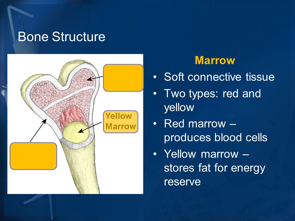Bone Structure Marrow Soft connective tissue Two types: red and yellow