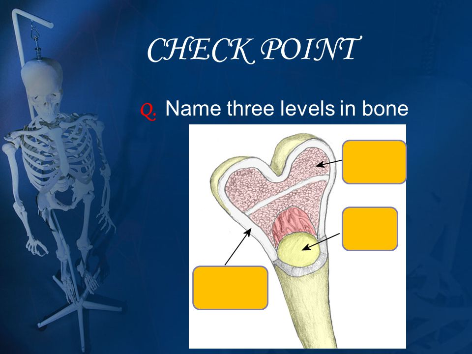 CHECK POINT Q. Name three levels in bone